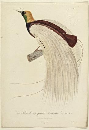 Le Pardisier grand-emeraude (Adult Male)