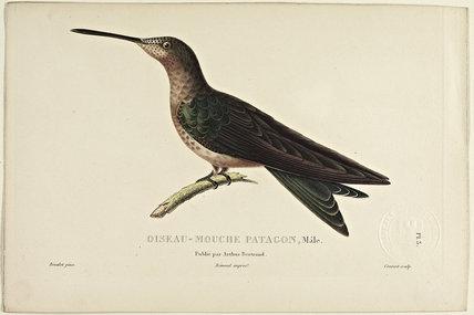 Oiseau-Mouche Patacon (Male)