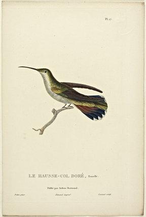 Le Hausse-Col Dore (Female)