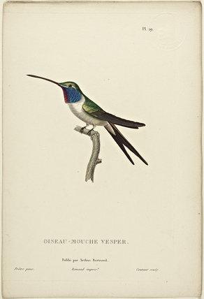 Oiseau-Mouche Vesper