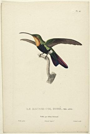 Le Hausse-Col Dore (Adult Male)