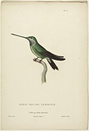 Oiseau-Mouche Temminck