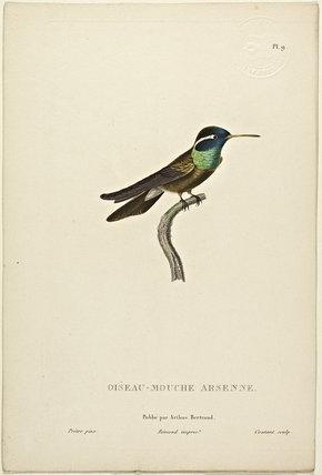 Oiseau-Mouche Arsenne