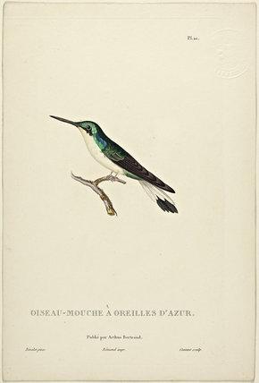 Oiseau-Mouche A'Oreilles D'Azur