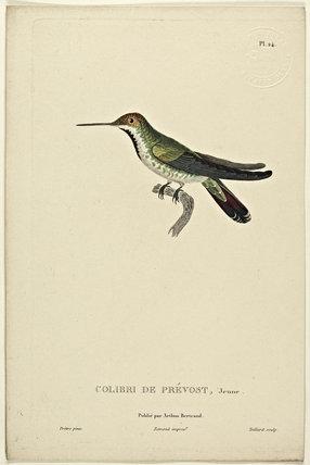 Colibri de Prevost (Juvenile)