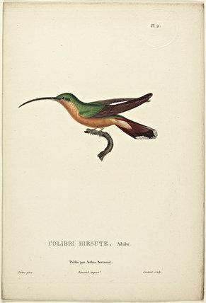 Colibri Hirsute (Adult)