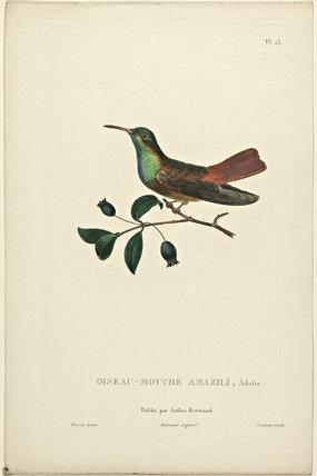 Oiseau-Mouche Amazili (Adult)