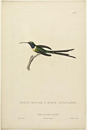 Oiseau-Mouche A Queue Singuliere