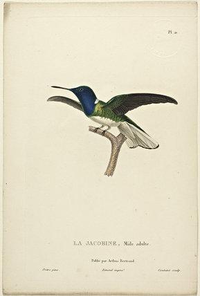 La Jacobine (Adult Male)