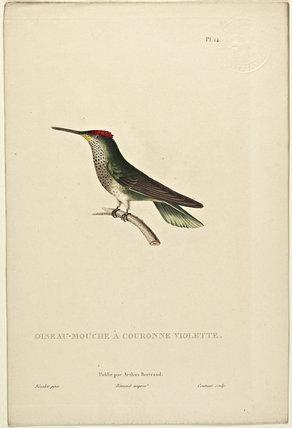Oiseau-Mouche A Couronne Violette