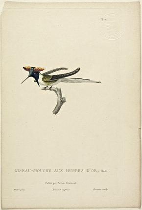 Oiseau-Mouche Aux Huppes D'or (Male)