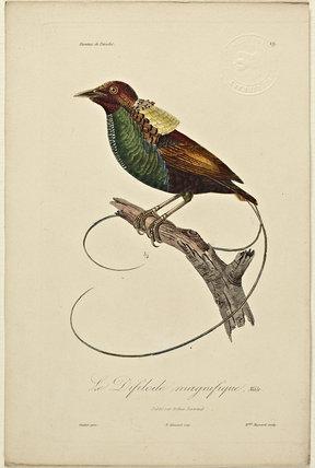 Le Difilode magnifique (Male)