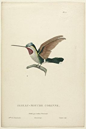 Oiseau-Mouche Corinne