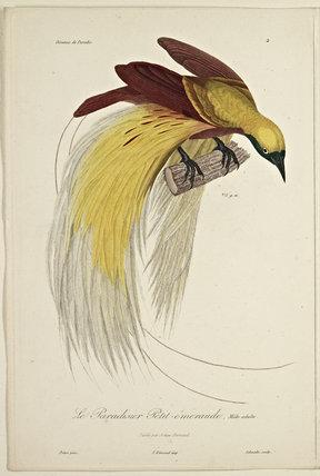 Le Pardisier Petit-emeraude (Adult Male)