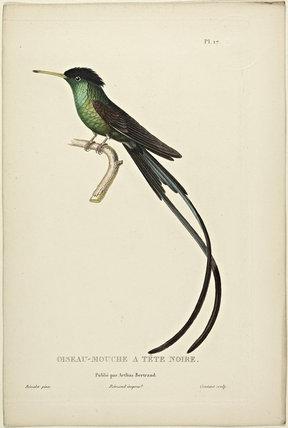 Oiseau-Mouche A Tete Noire