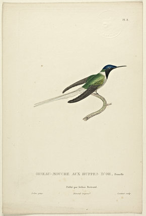 Oiseau-Mouche Aux Huppes D'or (Female)