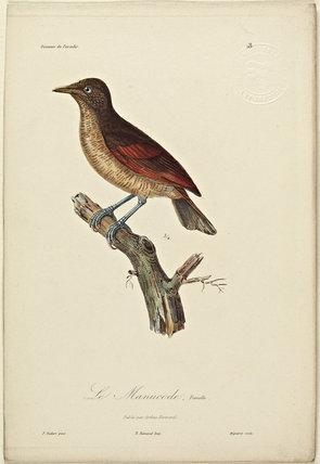 Le Manucode (Female)