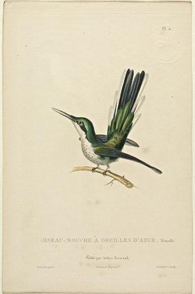 Oiseau-Mouche A'Oreilles D'Azur (Female)