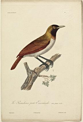 Le Pardisier Petit-emeraude (Junior Male)