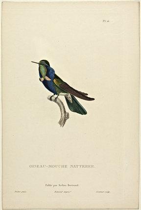 Oiseau-Mouche Natterer
