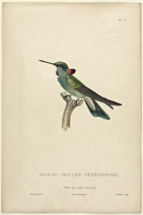 Oiseau-Mouche Petasophore