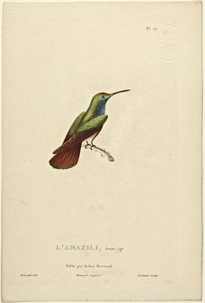 L'amazili (Juvenile)