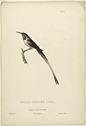 Oiseau-Mouche Cora