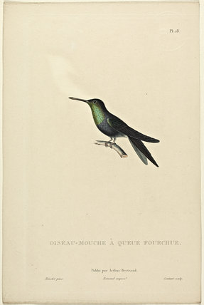 Oiseau-Mouche A Queue Fourchue
