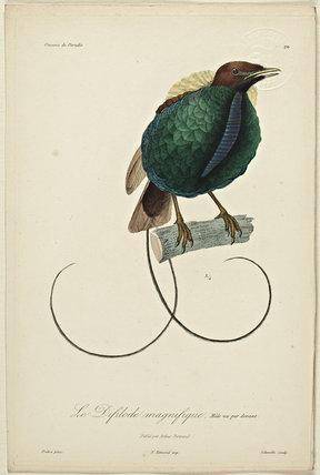 Le Difilode magnifique (Male - front)