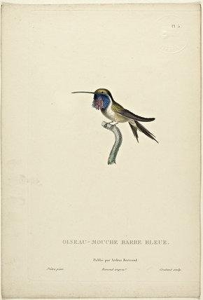 Oiseau-Mouche Barbe Bleue