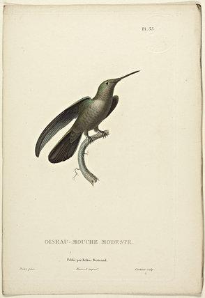 Oiseau-Mouche Modeste