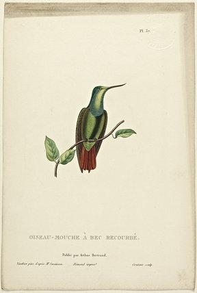 Oiseau-Mouche  A Bec Recourbe