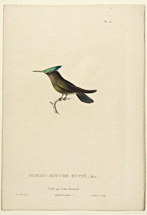 Oiseau-Mouche Huppe (Male)