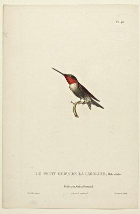 Le Petit Rubis de la Caroline (Adult Male)