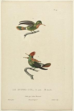 Le Huppe-Col A-Male B-Female