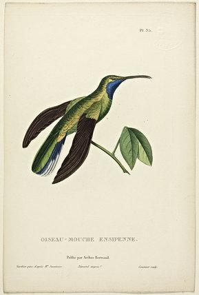 Oiseau-Mouche Ensipenne