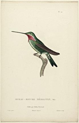 Oiseau-Mouche Mediastin (Male)