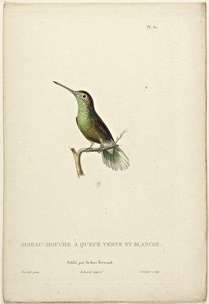Oiseau-Mouche A Queue Verte Et Blanche