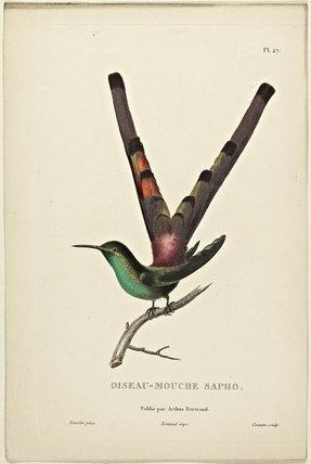 Oiseau-Mouche Sapho