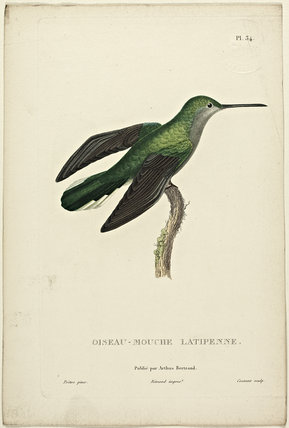 Oiseau-Mouche Latipenne
