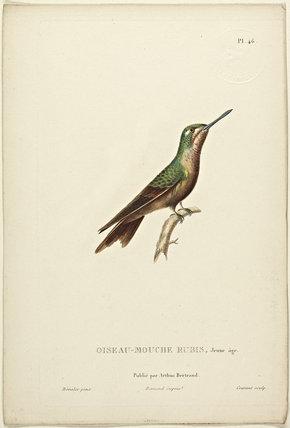Oiseau-Mouche Rubis (Junior)
