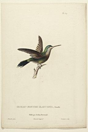 Oiseau-Mouche Glaucopis (Female)