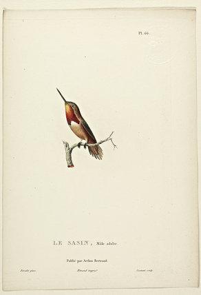 Le Sasin (Adult Male)