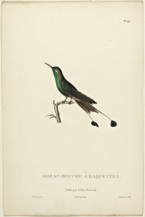 Oiseau-Mouche A Raquettes