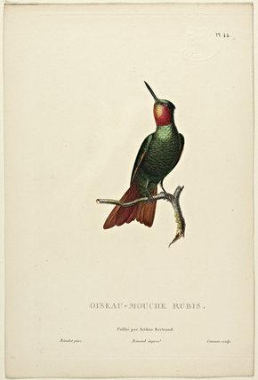 Oiseau-Mouche Rubis
