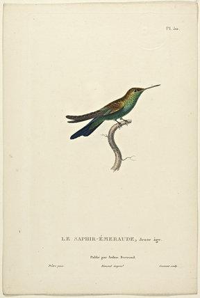 LeSaphir-Emeraude (Juvenile)