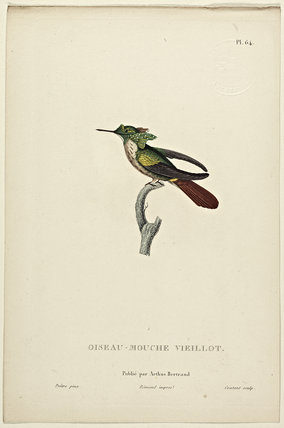 Oiseau-Mouche Vieillot