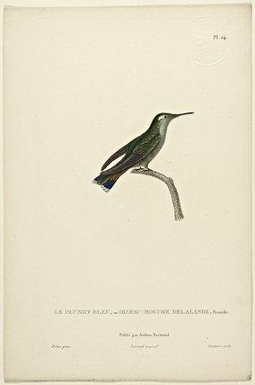 Le Plumet Bleu or Oiseau-Mouche Delande (Female)