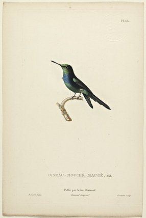Oiseau-Mouche Mauge (Male)