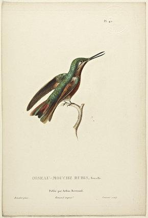 Oiseau-Mouche Rubis (Female)